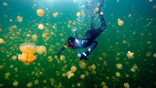 Diver swimming with jellyfish