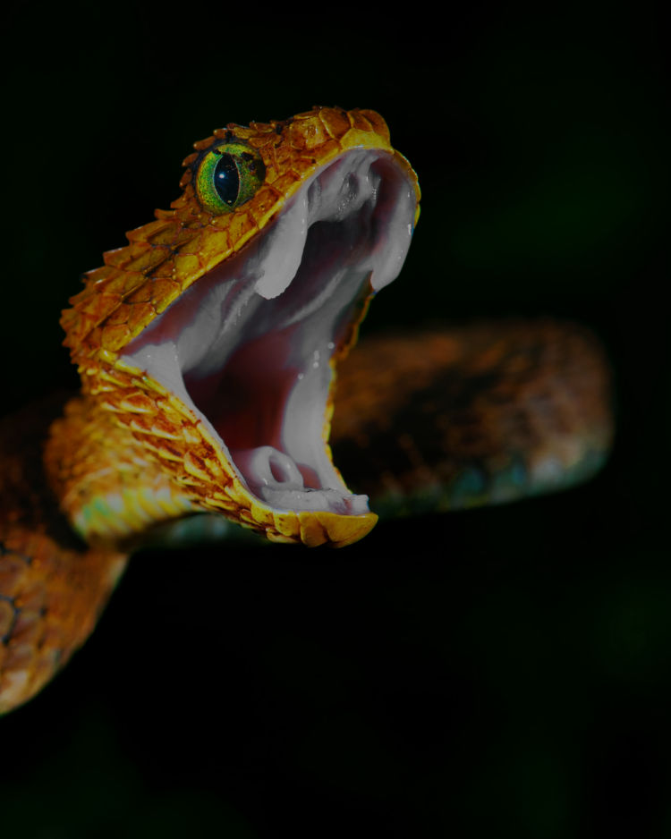 snake with its mouth open