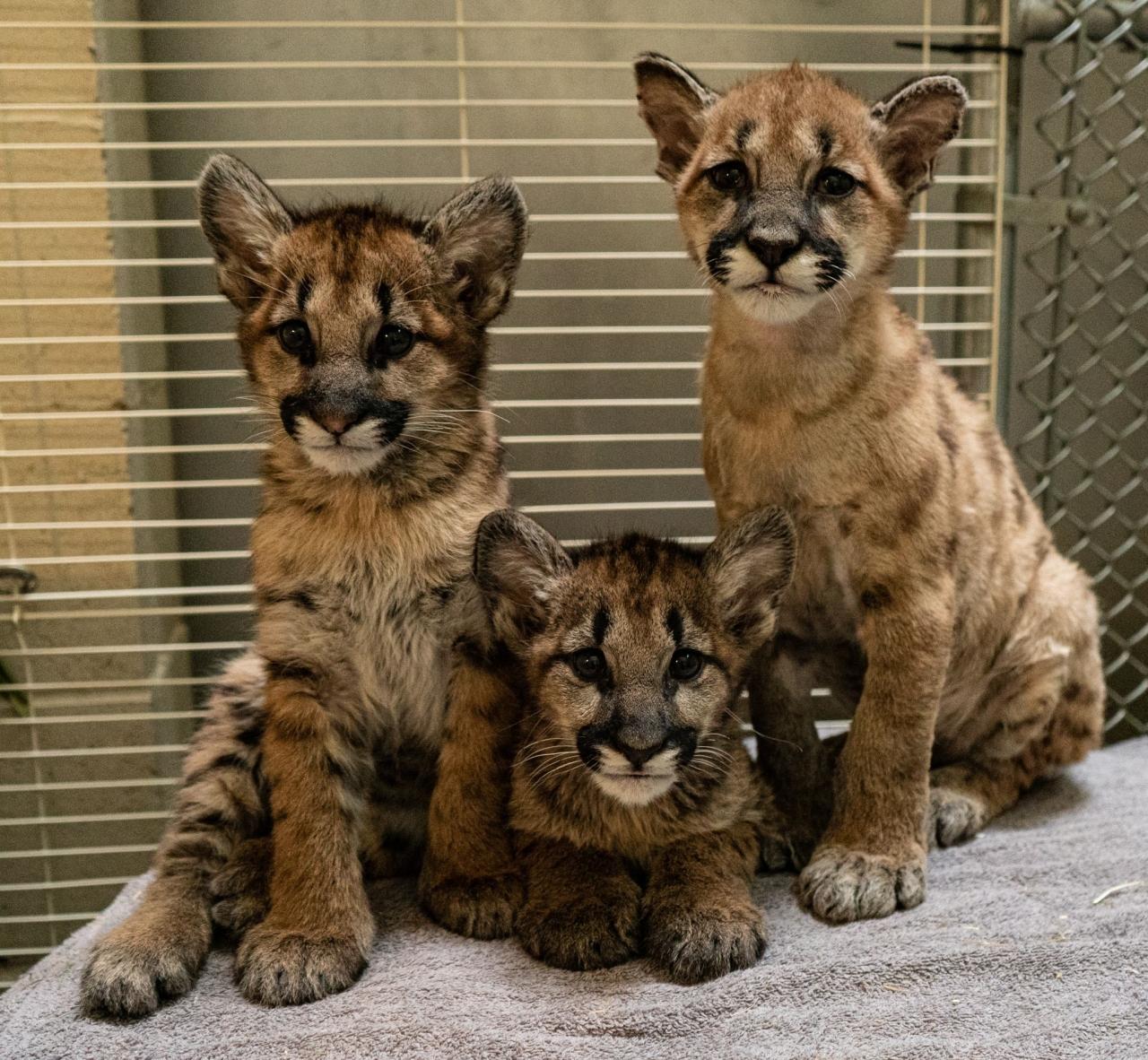 Mtn lion cubs