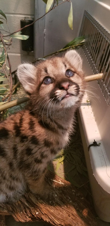 mtn lion cub