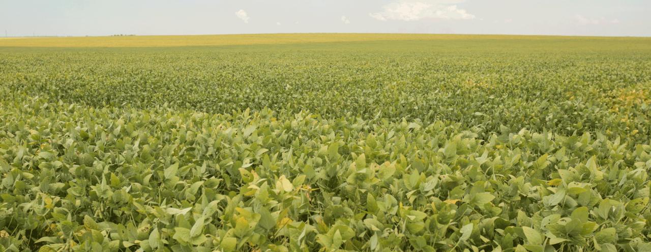 soybean fields in Brazil
