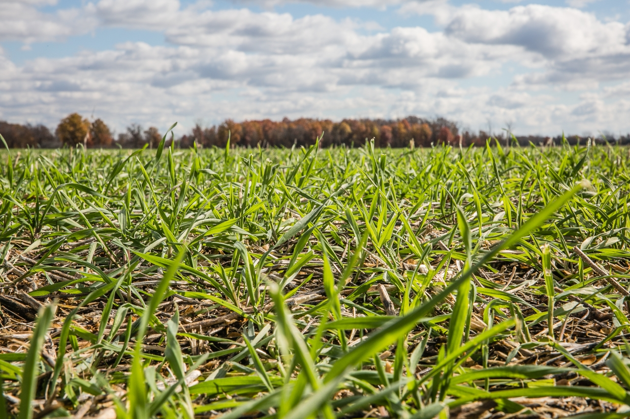 Image of the cover crops that help build soil health. © David Ike