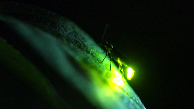 Image of a firefly glowing in the darkness