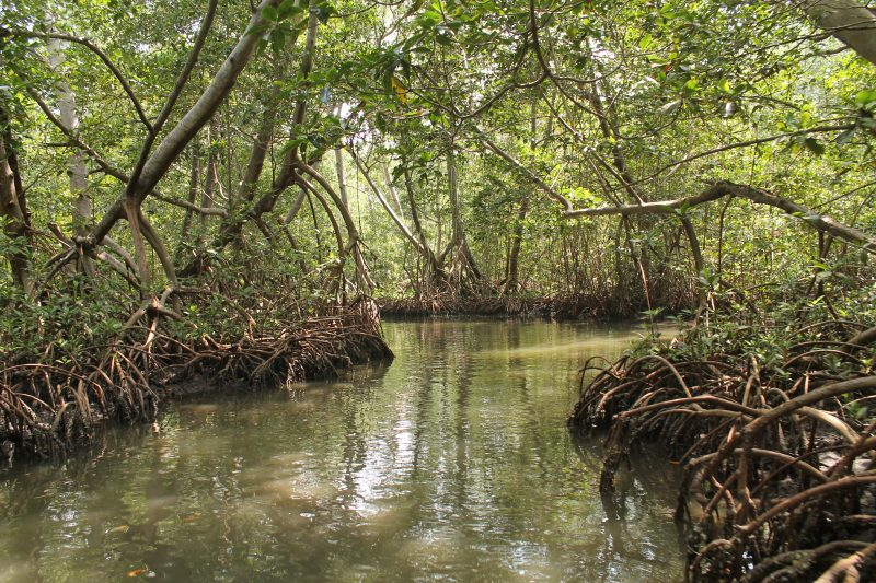 One of the mangroves dotted along Colombia's Caribbean coast