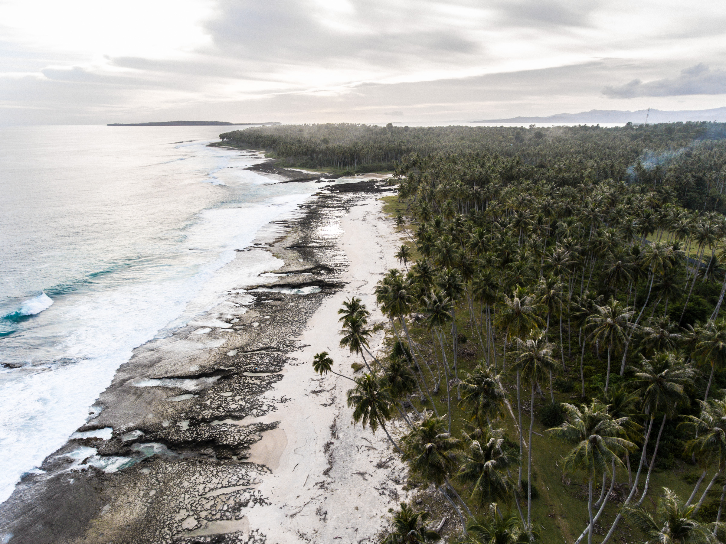 Seaside coconuts growing wild on Simeulue Island, Indonesia