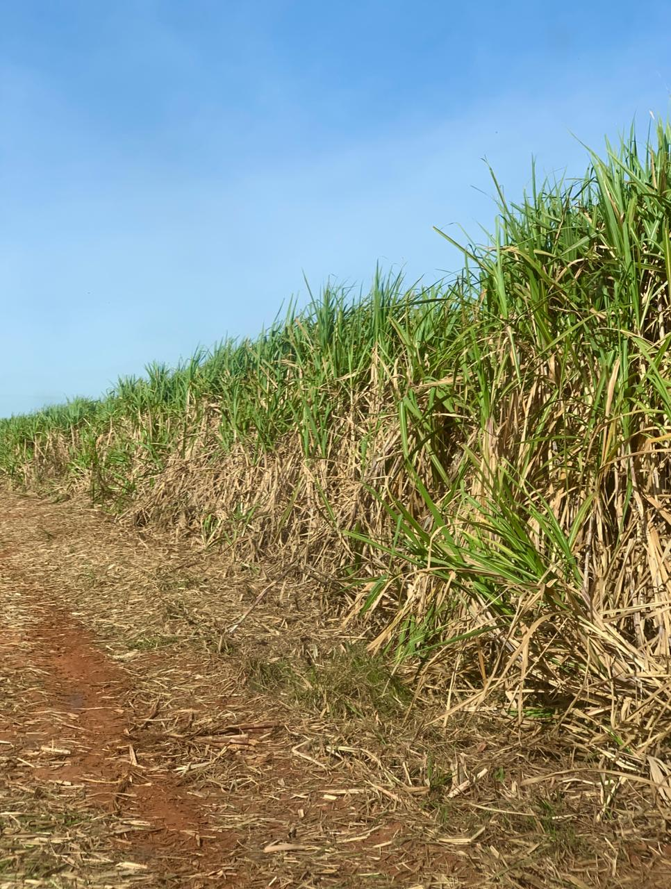 Sugarcane at Socicana farming association, Brazil