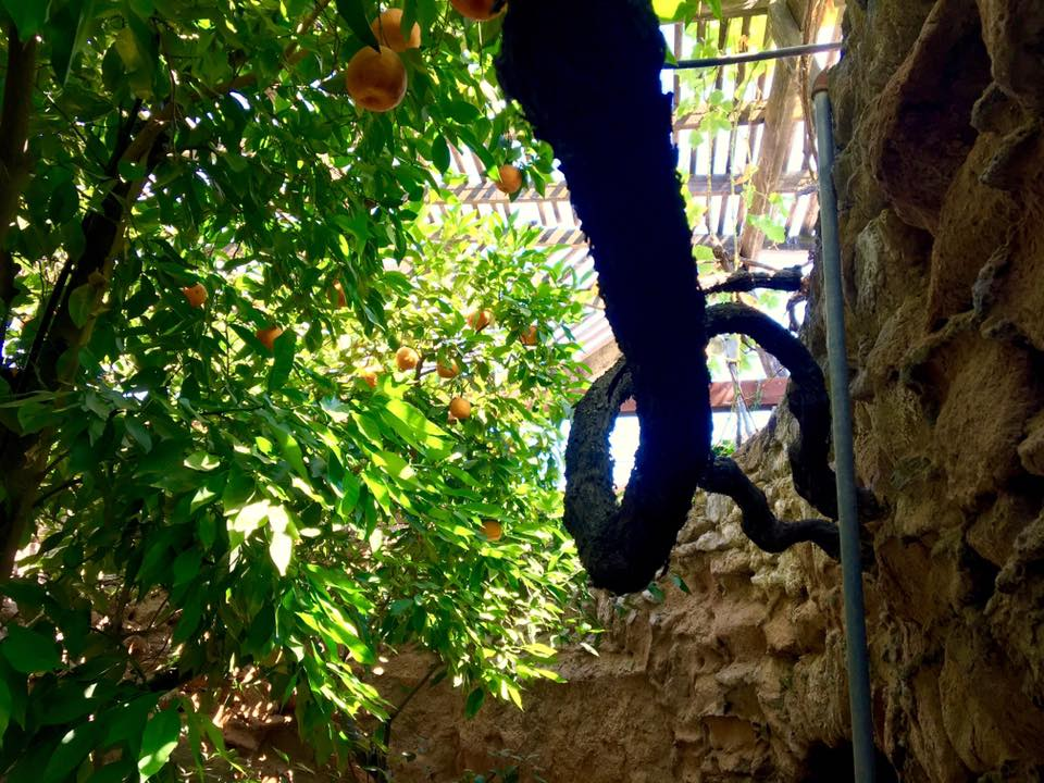 An orange tree twists to the sky at Fresno's Forestiere Underground Gardens