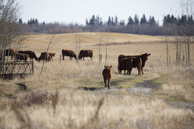Cattle on an ALUS participant's ranch.