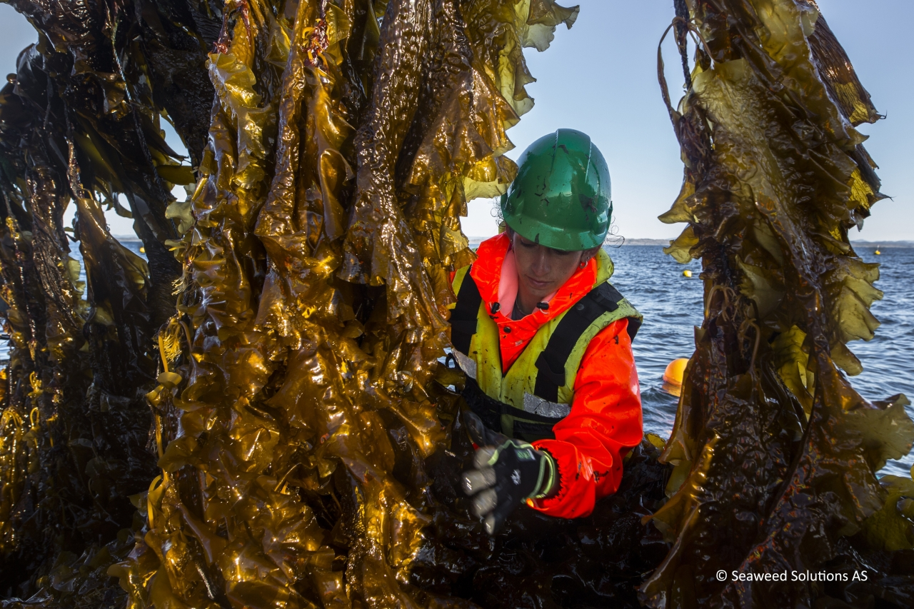 Kelp is harvested off the coast of Norway. Photo: Seaweed Solutions AS