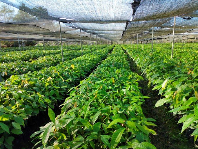 Cocoa crops