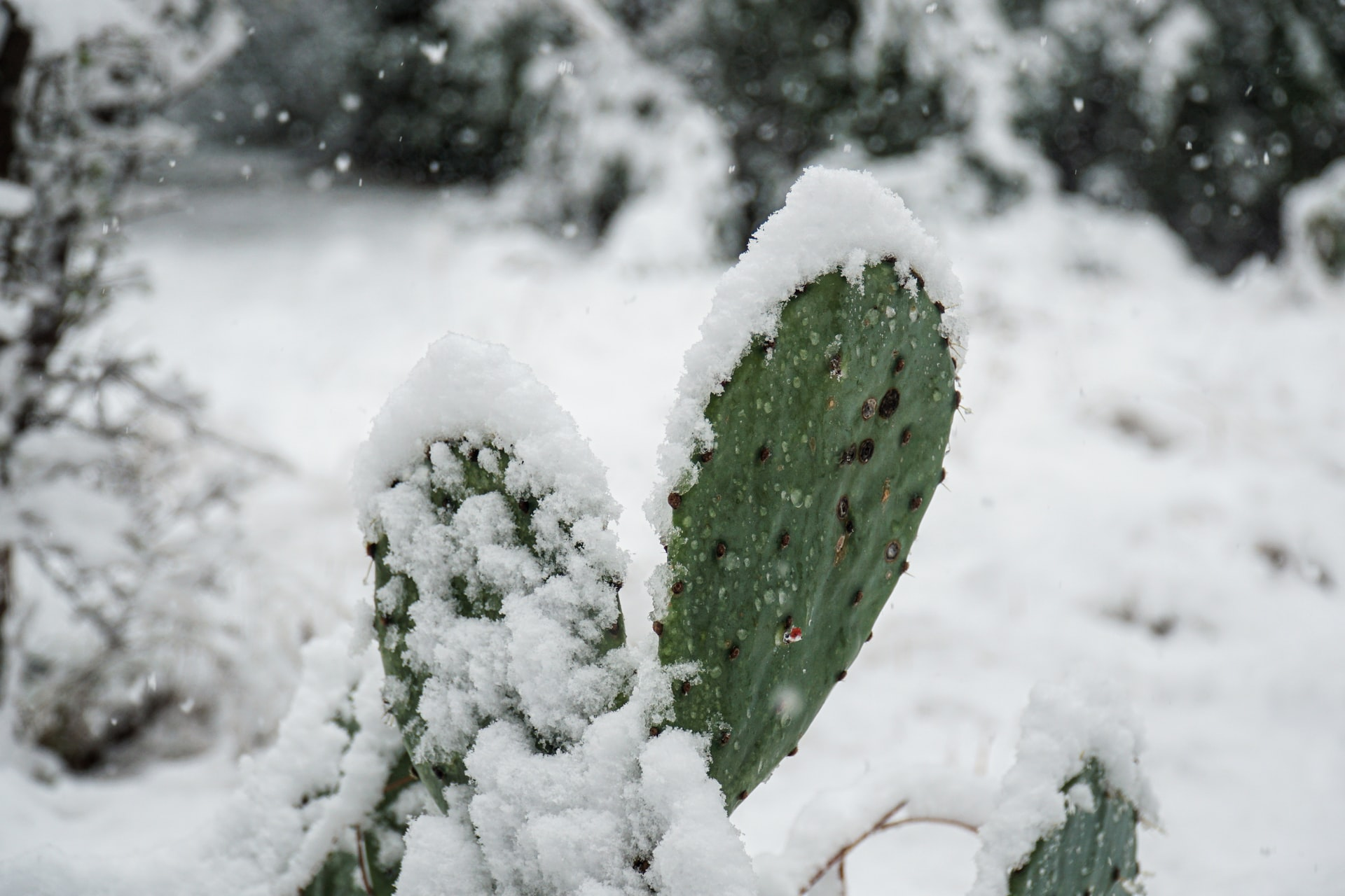 A prickly pear cactus covered in snow during the February Texas winter storm