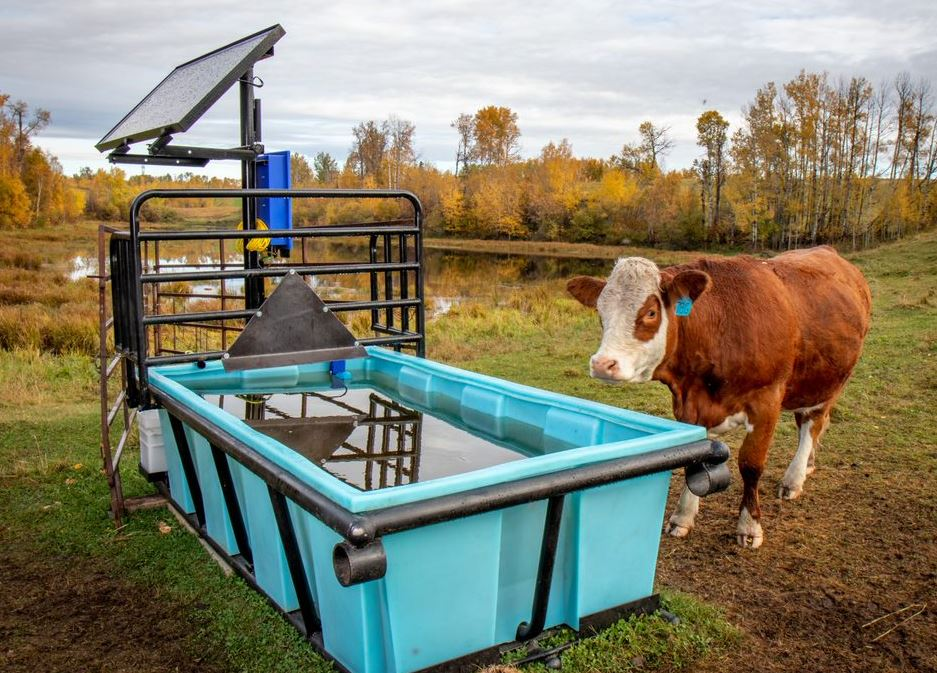 Cow next to watering system