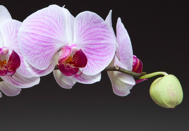 Orchids for Father's Day? We say yes! (Image credit: Westerlay Orchids)