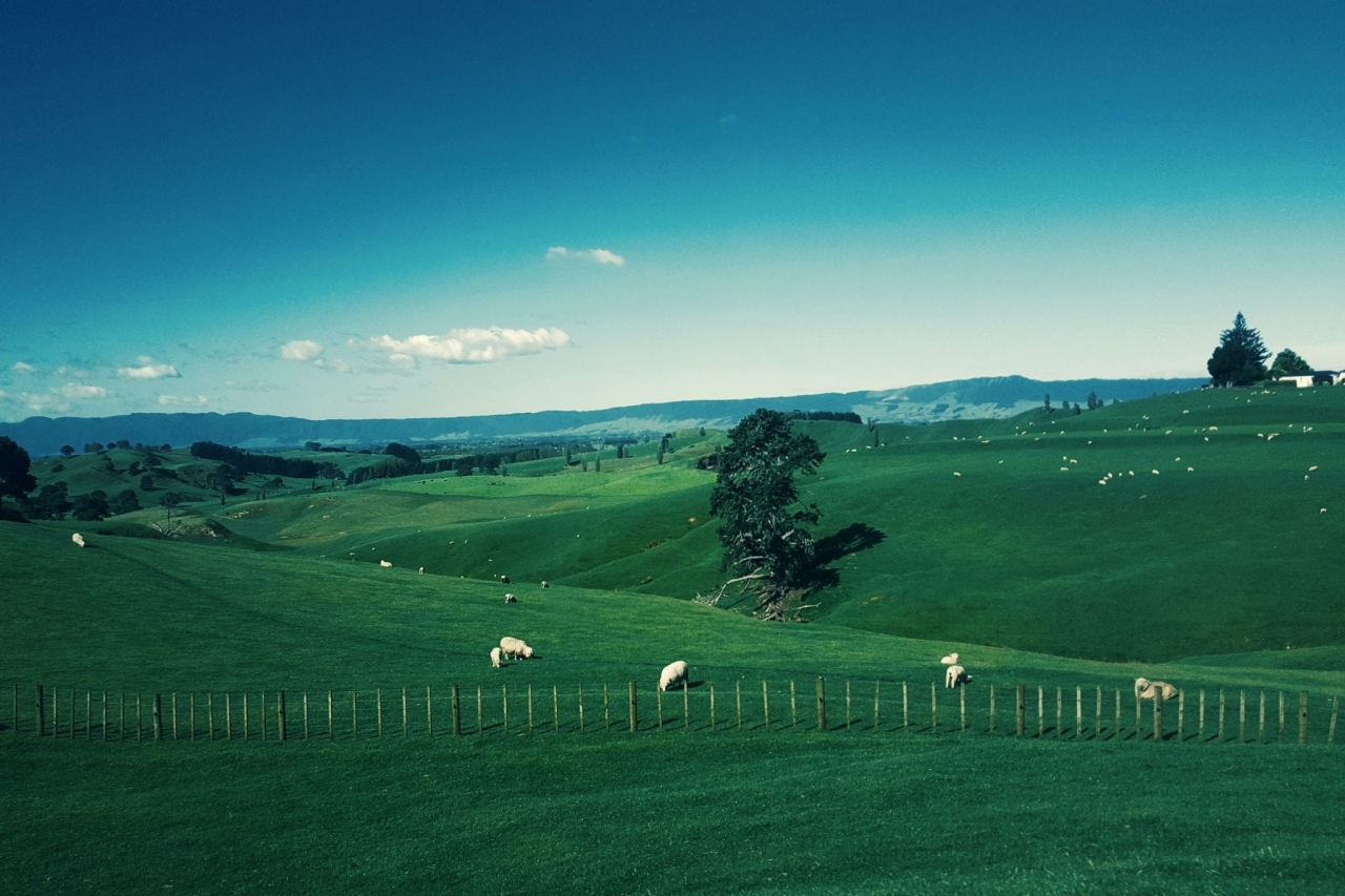 image of sheep grazing on rolling hills