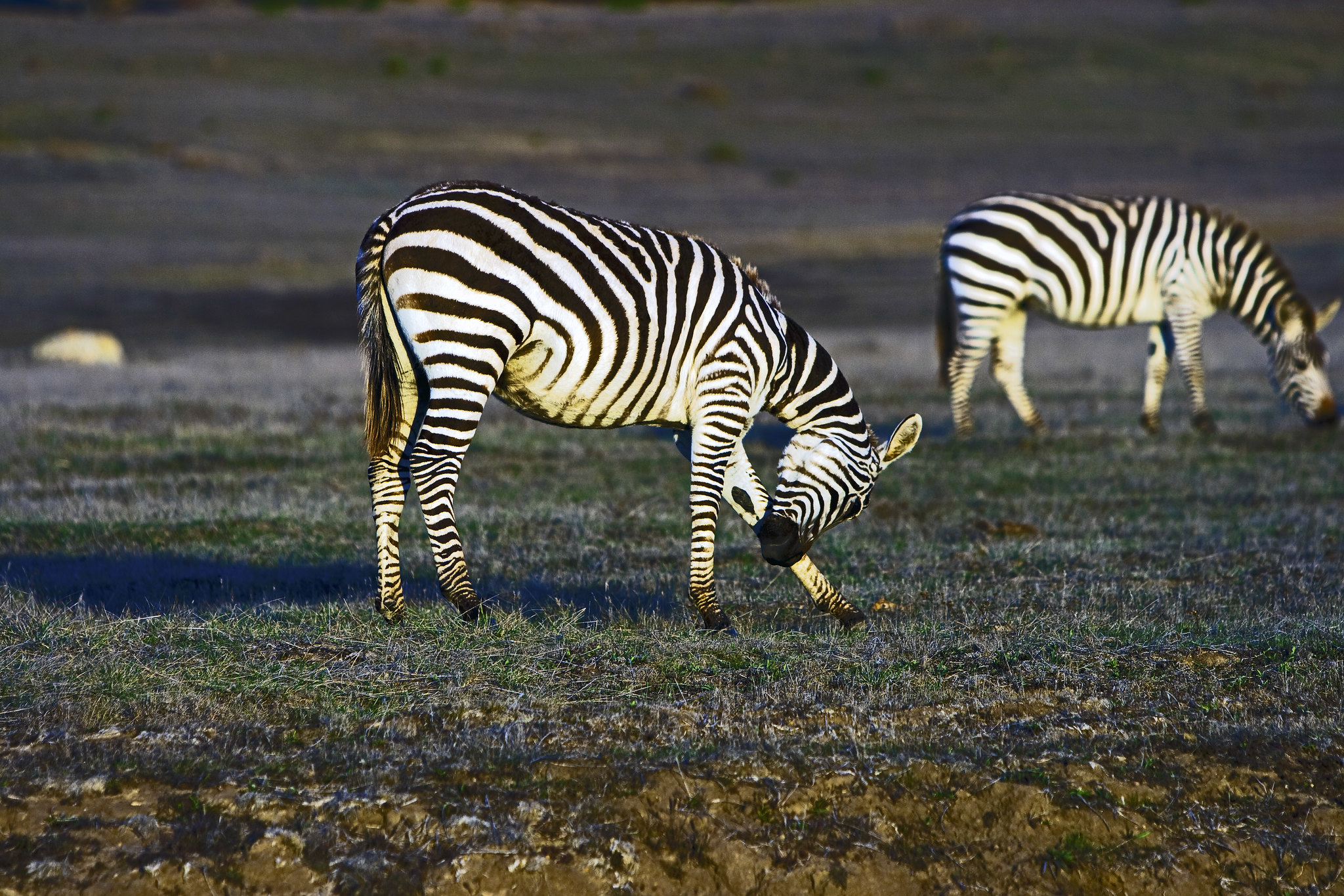 Zebras roaming near San Simeon, CA