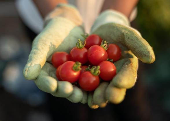 Handful of cherry tomatoes