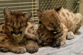 Three Mountain Lion Cubs, Rescued From California Wildfires, Find New Home With Help From FedEx Image
