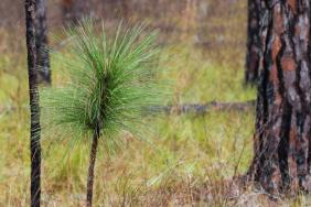 Partners Working Together to Help Landowners Restore and Manage Longleaf Pine Forests in Mississippi and Alabama Image