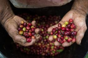 Albertsons Companies, The Kroger Co., and Williams-Sonoma Announce Major Commitments to Fair Trade Certified Coffee as Part of Sustainable Coffee Challenge Image
