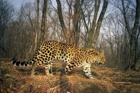 World's Rarest Wild Cat Doubles in Number Image