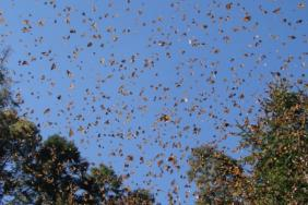 Restoring Critical Monarch Butterfly Habitat in Mexico Image
