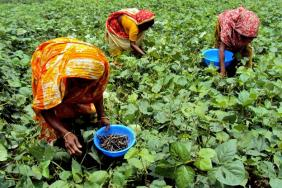 Building a Sustainable Mung Bean Farming System in Bangladesh Image