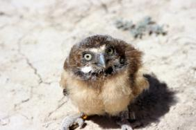 Effort to Save Burrowing Owls Goes Underground in Chino Image