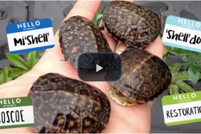 Consumers Energy Releases 12 Rare Blanding's Turtles Protected During Natural Gas Pipeline Project Image