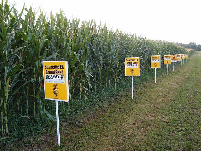 640px-GMO_corn_Yellow_Springs_Ohio_Lindsay_Eyink1.jpg