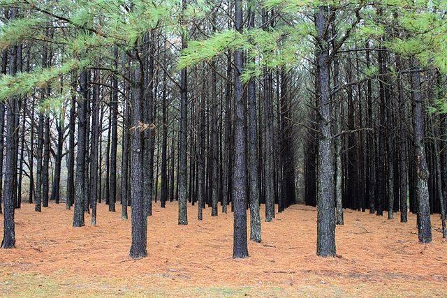 640px-Pinus_taeda_plantation.jpg