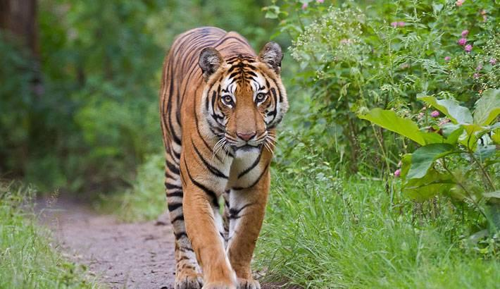 A-Bengal-tiger-walking-in-Bangladeshs-Sundarbans.jpg