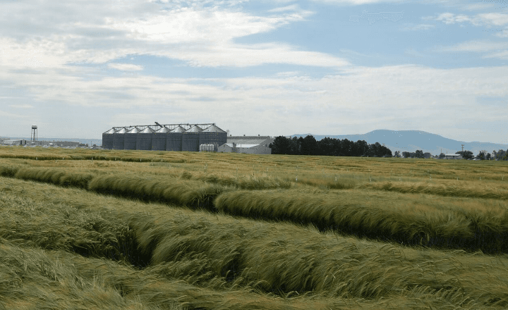 A-barley-farm-near-the-Rocky-Mountains.png