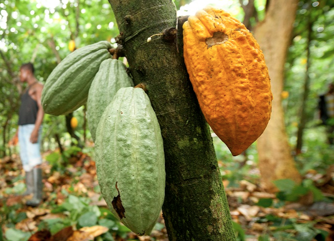 A-cacao-tree-in-Ghana.png