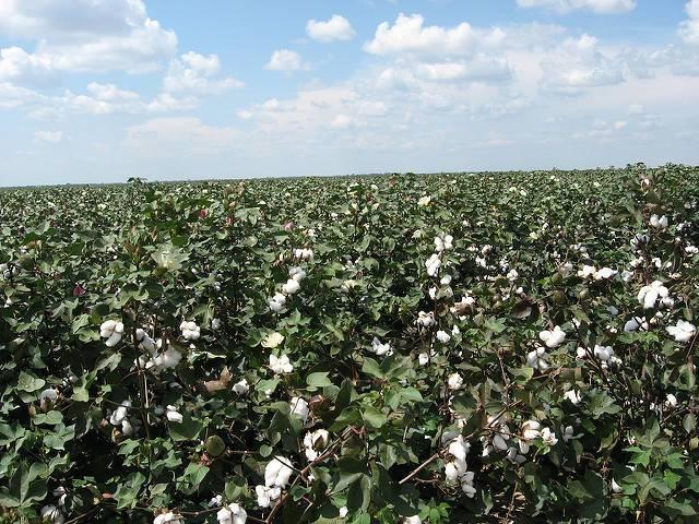 A-cotton-farm-in-Louisiana.jpg