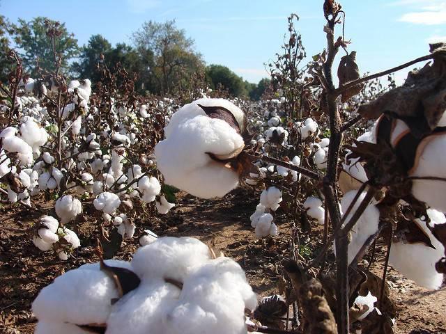 A-cotton-farm-in-South-Carolina.jpg