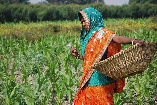 A-farmer-weeding-a-corn-field-in-Bihar-India.jpg