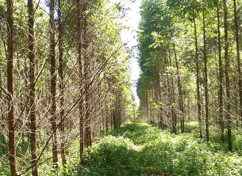A-managed-eucalyptus-forest-in-rural-China.png