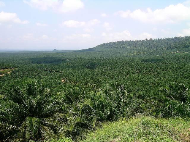 A-palm-oil-plantation-in-Sabah-Borneo-Malaysia.jpg