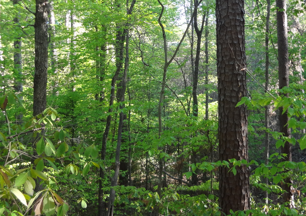 A-short-leaf-pine-and-beech-forest-in-rural-Arkansas.png