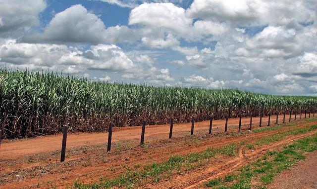 A-sugarcane-plantation-in-the-Brazilian-State-of-Acre.jpg