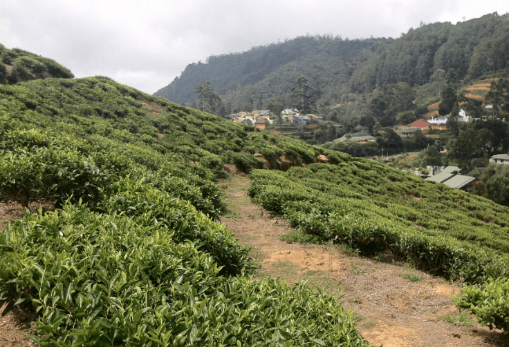 A-tea-plantation-in-Sri-Lanka.png