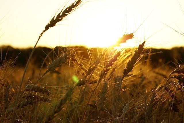 A-wheat-farm-in-Kansas.jpg