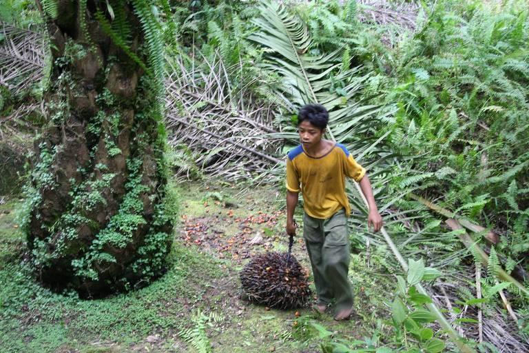 A-young-boy-collecting-palm-oil-fruit-on-an-Indonesian-plantation.jpg