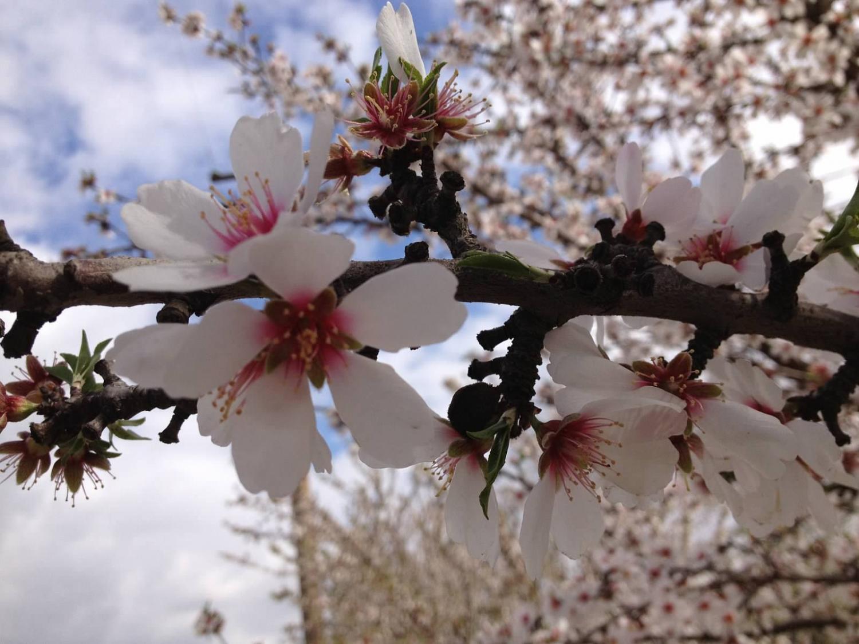 Almond-blossoms-near-Sanger-California.jpg