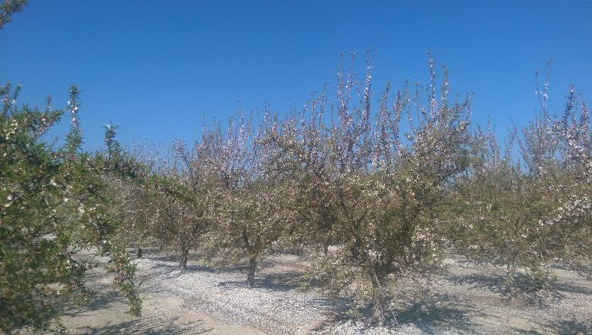 Almond-orchard-in-Madera-County-California.jpg