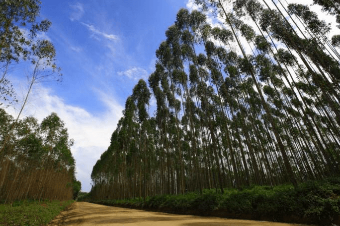 An-APP-managed-forest-of-eucalyptus-trees.png