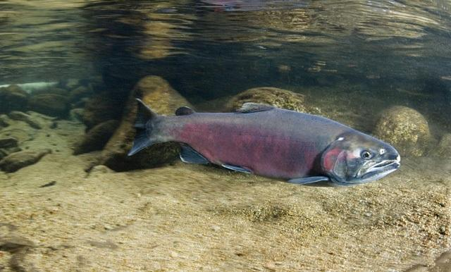 An-adult-male-Coho-salmon.jpg