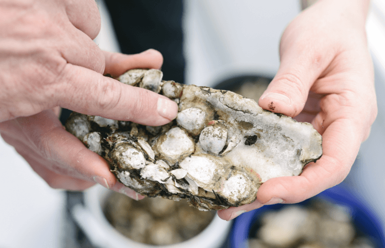 Baby-oysters-ready-to-grow-in-Baltimores-Inner-Harbor.png