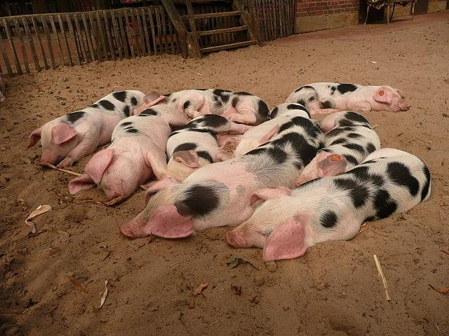 Bentheimer_Landschwein-pigs.jpg