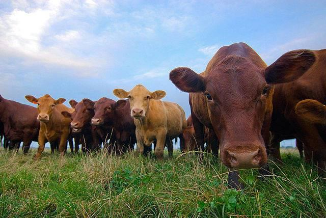 Bill_Niman_grass-fed_cattle_RThompson-USDA-Wik.jpg